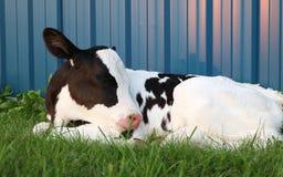 Holstein-Kalb, das auf Gras legt stockfotografie