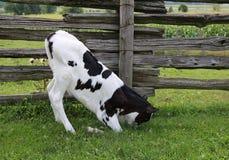 Holstein-Kalb, das im Gras spielt stockfoto
