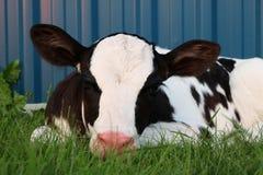 Holstein-Kalb draußen vor blauer Stahlhalle stockfotografie