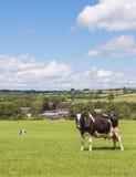 Holstein ko i fält Royaltyfria Bilder