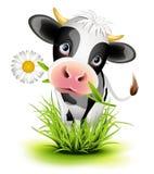 Holstein ko i gräs Arkivbilder