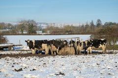 Holstein krowy przy dozownikiem w śniegu fotografia stock