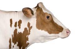 Holstein-Kuh, 4 Jahre alt, Stellung Stockfoto