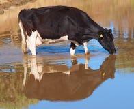 Holstein-Milchkuh, die ein Getränk genießt Stockbilder
