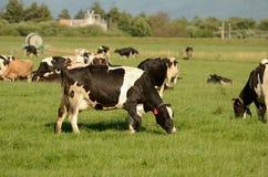 Holstein nötkreatur Arkivbild