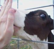 Holstein oblizania Łydkowa ręka Fotografia Royalty Free