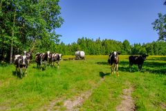 Holstein skrämmer nötkreatur i ängen Royaltyfria Foton