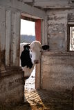 Holstein steer cow peaking into barn at farm. Stock Photography
