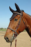 Holsteiner. Face shot of showjumping holsteiner gelding with bonnet and gag bit Royalty Free Stock Image
