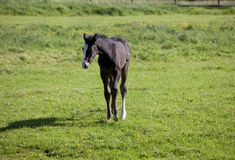 Holsteiner foal on pasture Royalty Free Stock Image