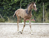 Holsteiner foals noble Stock Images