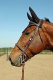 Holsteiner Gelding Profile. Profile of holsteiner gelding with bonnet and gag bit Royalty Free Stock Images