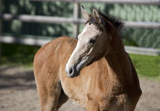 Holsteiner gray foal Royalty Free Stock Image