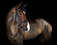 Holsteiner horse with bridle Royalty Free Stock Photo