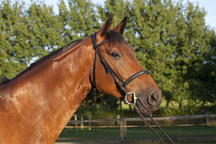 Holsteiner horse with bridle Royalty Free Stock Photography