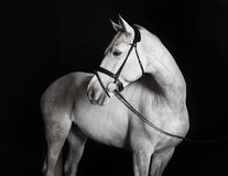 Holsteiner horse white against a black background. White Holsteiner horse with bridle in studio against black background Royalty Free Stock Photography