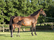 Holsteiner mare with young foal Stock Photos