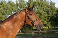 Holsteiner-Pferd mit Zaum lizenzfreie stockfotografie