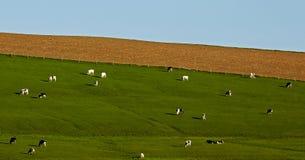 Holsteins Grazing Fields Stock Photo