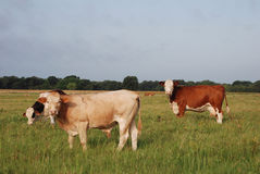 Holstien, Jersey and Hereford Stock Photography