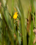 Holub's Golden Weaver in green Stock Images