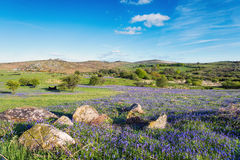 Holwell Lawn on Dartmoor. Summer bluebells at Holwell Lawn on dartmoor National Park in Devon Royalty Free Stock Photography
