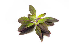 Holy basil Royalty Free Stock Image