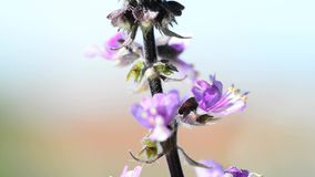 Holy basil, closeup of the flower stock footage
