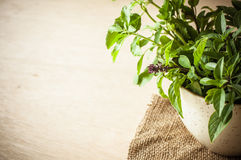 Holy Basil in the cup Stock Photo
