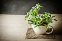 Holy Basil in the cup Royalty Free Stock Photos