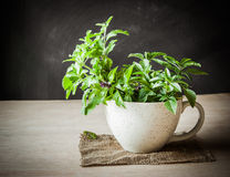 Holy Basil in the cup Royalty Free Stock Image