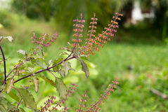 Holy basil. Flower at country of thailand Royalty Free Stock Photo