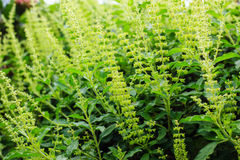 Holy basil flowers Royalty Free Stock Images