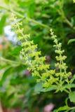 Holy basil flowers Royalty Free Stock Photo