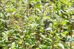 Holy basil flowes Royalty Free Stock Photography
