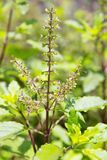 Holy basil flowes Royalty Free Stock Images
