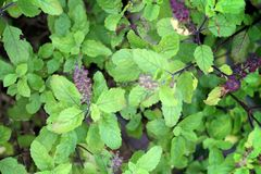 Holy basil Royalty Free Stock Photography