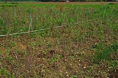 Holy basil hard pruned Stock Photos