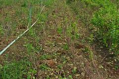 Holy basil hard pruned Stock Photo
