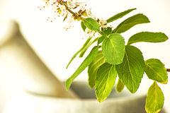 Holy basil Royalty Free Stock Photo