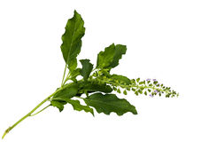 Holy basil isolated Stock Photos