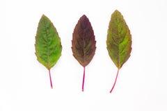 Holy basil leaf. Fresh holy basil leaf on white background Royalty Free Stock Photos