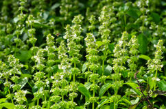 Holy Basil leaf and flower Royalty Free Stock Images