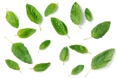 Holy basil leaf isolated on white background Stock Images