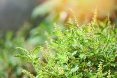 Holy basil leaf nature vegetable garden background / Ocimum sanctum stock photo