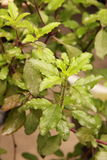 Holy basil leaves Stock Photo
