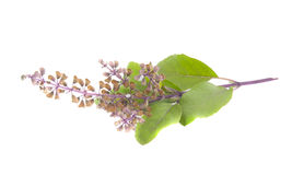 Holy basil leaves and flowers. Holy basil leaves isolated on white background. Ocimum tenuiflorum, also known as Ocimum sanctum, Holy basil, or tulasi has an Stock Photos