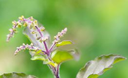 Holy Basil plat head captured in close up royalty free stock images