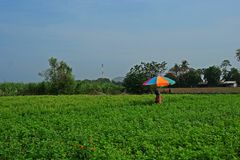 Holy basil production field. One of common herb use in Thai food and Asian food stock photo