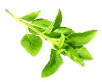 Holy Basil or thulasi leaves Royalty Free Stock Photos